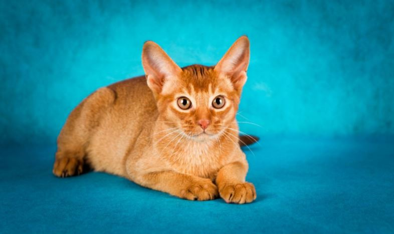 Most Kids Friendly Cat Breeds 2019