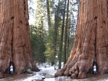 Largest Trees of The Planet Earth